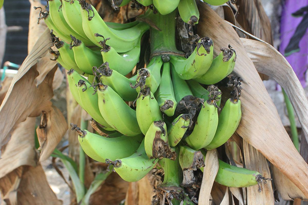 Neben Mangos wachsen auch viele Bananen in Kenia.