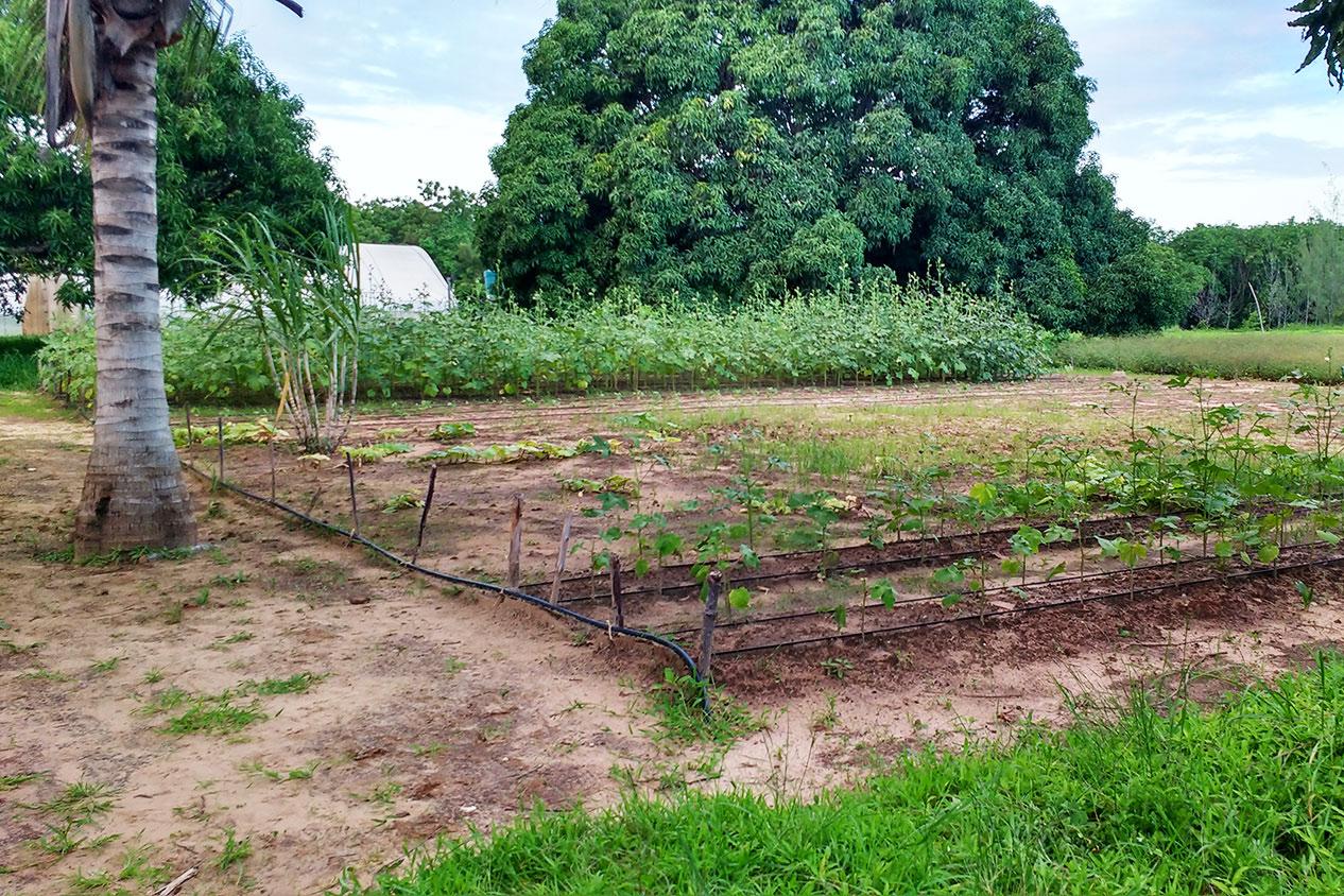 Auf diesem Feld wird über ein Tröpfchensystem eine effiziente Bewässerung sichergestellt.