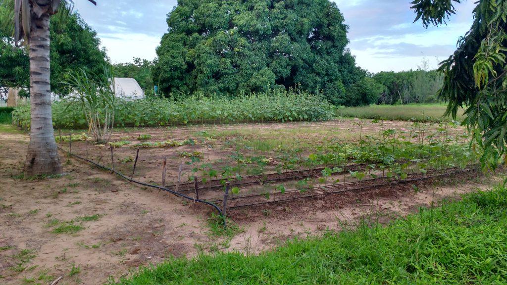 Gemüseanbau mit Tröpfchenbewässerung